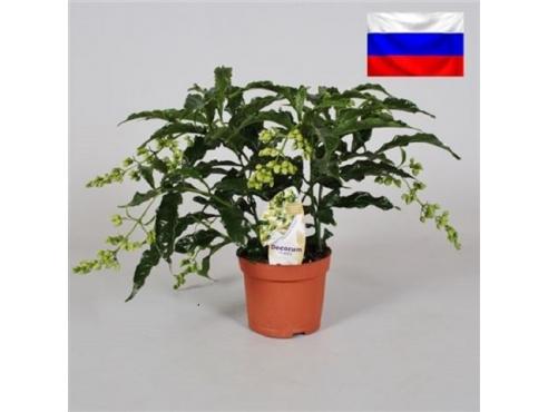 "Клеродендрум ""Просперо"" Clerodendrum Prospero (decorum)"