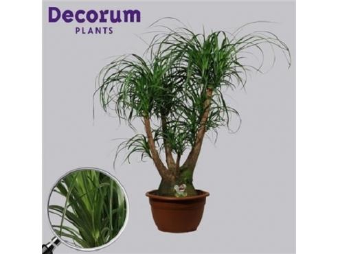 Бокарнея нолина бутылочная пальма бранч Beaucarnea Branched (decorum)