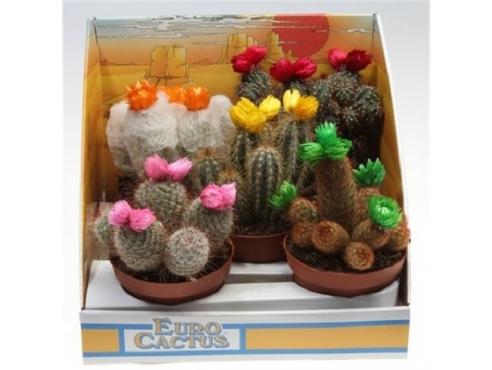 "Кактус ""Драй Флауэр"" Cactus Dryflower Mix In Showbox"