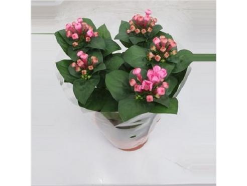 Бувардия Лонжифлора Пинк Bouvardia Longiflora Pink