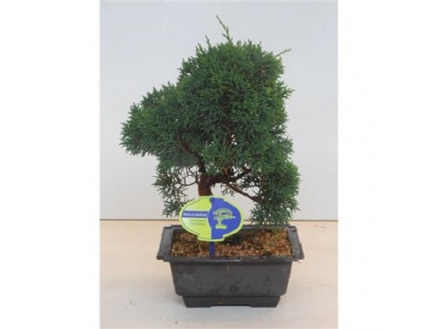 """Бонсаи """"Юниперус Чайненсис"""" Bonsai Juniperus Chinensis"""