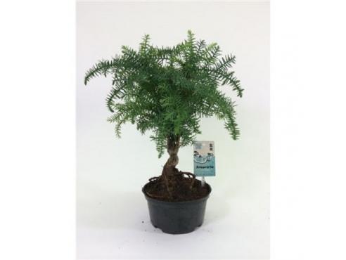 "Бонсаи ""Араукария Каннингема"" Bonsai Araucaria Cunninghamii Plastic Pot"