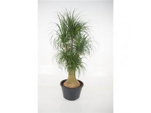 Бокарнея Нолина отогнутая бутылочная пальма бранч 3+ Beaucarnea Recurvata Branched 3+