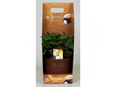 "Кофе ""Арабика"" в подарочном горшке Coffea Arabica In Scentsation Pot (smelling)"
