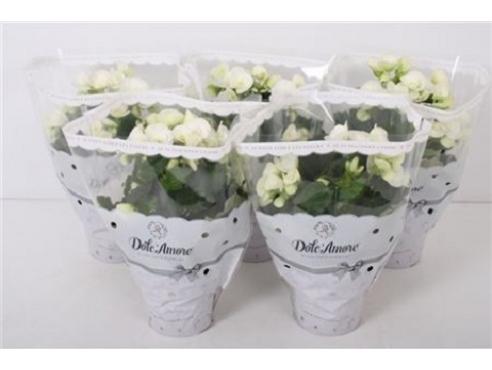 Бегония Долкаморе Уайт Begonia Dolc'amore Begonia White