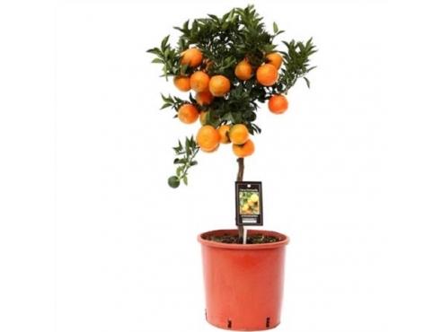 "Цитрус ""Мандарин Танго"" Citrus Tango Mandarin On Stem"