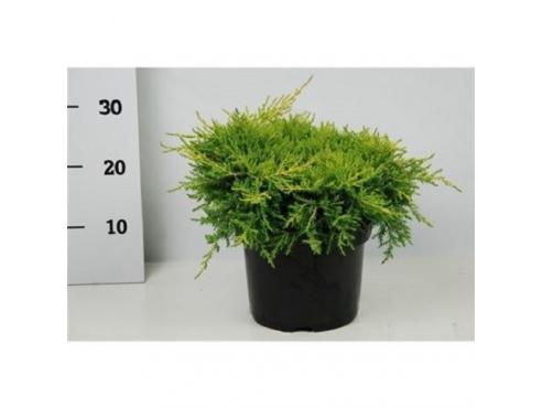 """Можжевельник Пфитцериана """"Голд Стар"""" Juniperus Pfitzeriana Gold Star"""