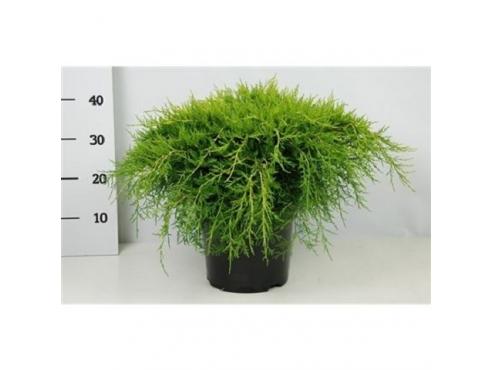 """Можжевельник Пфитцериана """"Олд Голд"""" Juniperus Pfitzeriana Old Gold"""