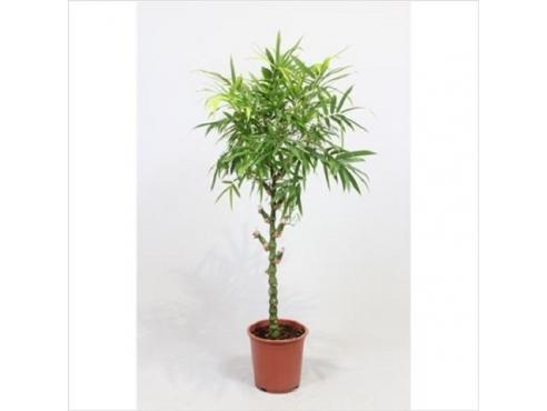Бамбук Вентрикоса Bambusa Ventricosa
