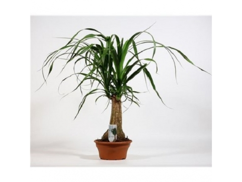 Бокарнея Нолина отогнутая бутылочная пальма на штамбе 2+ Beaucarnea Recurvata On Stem 2+
