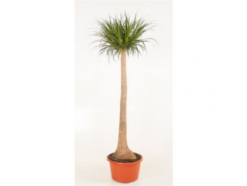 Бокарнея Нолина отогнутая бутылочная пальма на штамбе Beaucarnea Recurvata On Stem