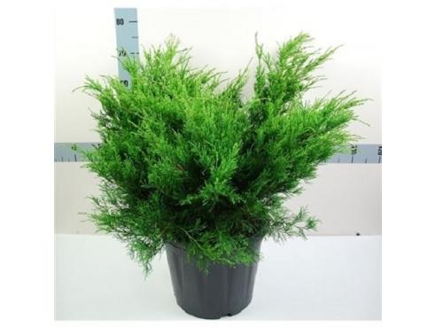"""Можжевельник Пфитцериана """"Минт Джулеп"""" Juniperus Chin. Aurea"""