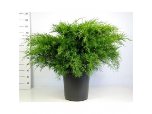 "Можжевельник Пфитцериана ""Минт Джулеп"" Juniperus Pfitzeriana Mint Julep"
