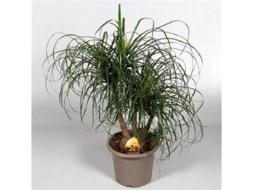 Бокарнея Нолина отогнутая бутылочная пальма бранч в декоративном горшке Beaucarnea Recurvata Branched In Deco Pot (decorum)