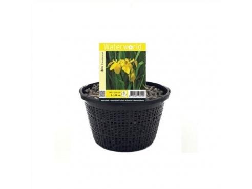 Ирис ложноаировый Iris Pseudacorus - Mand 22 Cm
