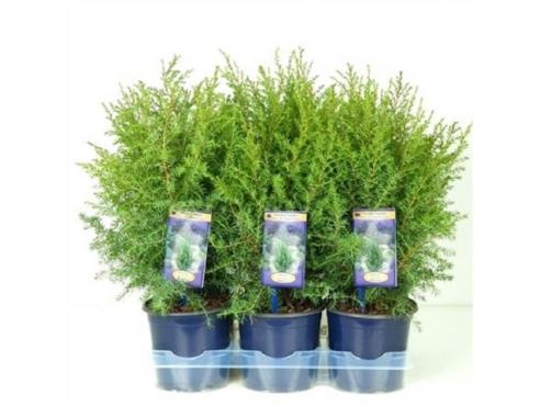 """Можжевельник обыкновенный """"Хиберника"""" Juniperus Communis Hibernica"""
