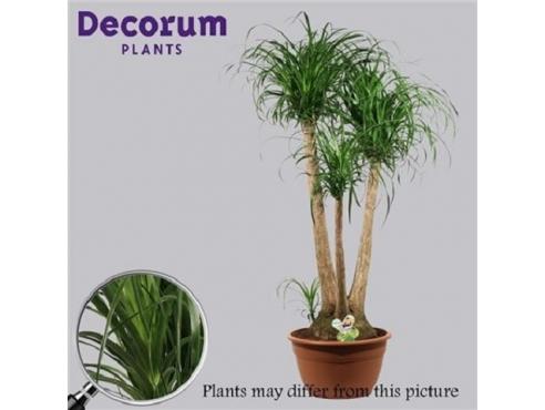 Бокарнея Нолина отогнутая бутылочная пальма бранч Beaucarnea Recurvata Branched (decorum)