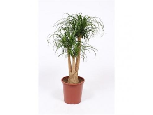 Бокарнея Нолина отогнутая бутылочная пальма бранч Beaucarnea Recurvata Branched (fachjan)