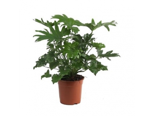 "Филодендрон ""Селло"" Philodendron Selloum"
