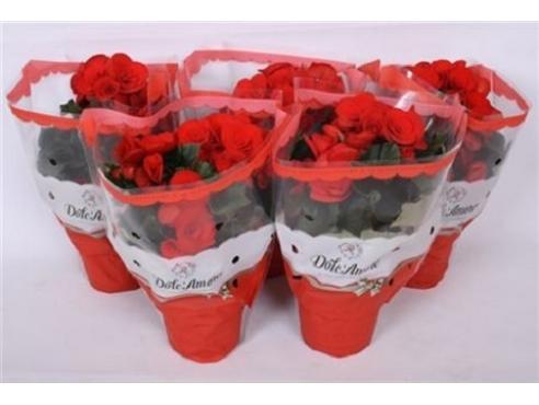 Бегония Долкаморе Баладин Ред Begonia Dolc'amore Baladin Red