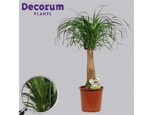 Бокарнея Нолина отогнутая бутылочная пальма на штамбе Beaucarnea Recurvata On Stem (decorum)