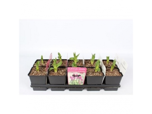 "Садовая орхидея ""Дактилорфиза пурпурелла"" Garden Orchids Dactylorhiza Purpurella"