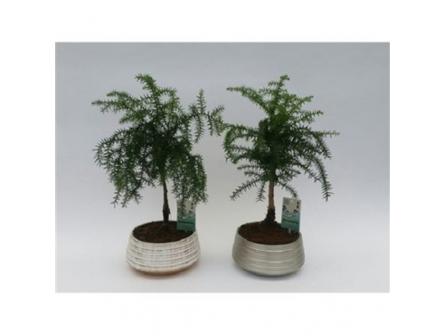 "Бонсаи ""Араукария Каннингема"" Bonsai Araucaria Cunninghamii In Silver & Gold Cer"