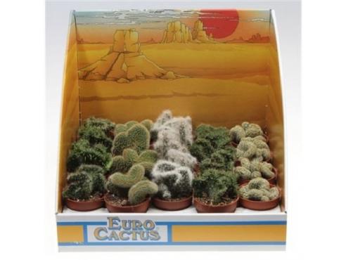 "Кактус ""Кристат"" Cactus Cristaat Mix In Showbox"