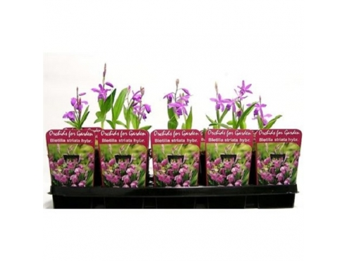 "Садовая орхидея ""Плейоне формозане"" Garden Orchids Pleione Formosane"
