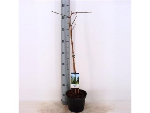 "Дерево ""Гинкго билоба"" Ginkgo Biloba"